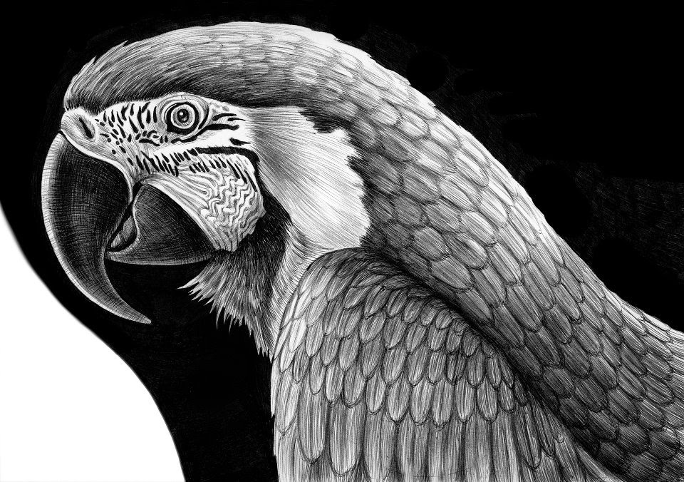 21-Parrot-Tim-Jeffs-All-Creatures-Great-and-Small-Ink-Drawings-www-designstack-co