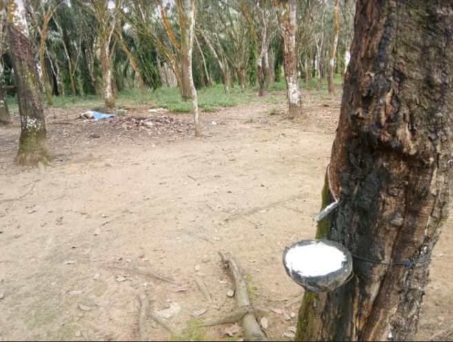 Satu lokasi kebun karet milik petani di daerah Kabupaten Padang Lawas yang masih dideres petani.