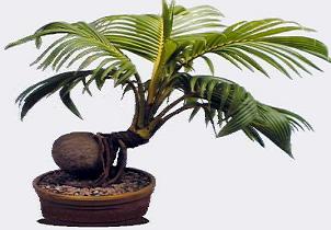 Gambar Bonsai Pohon Kelapa