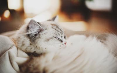 beautiful-cat-photo-wallpaper