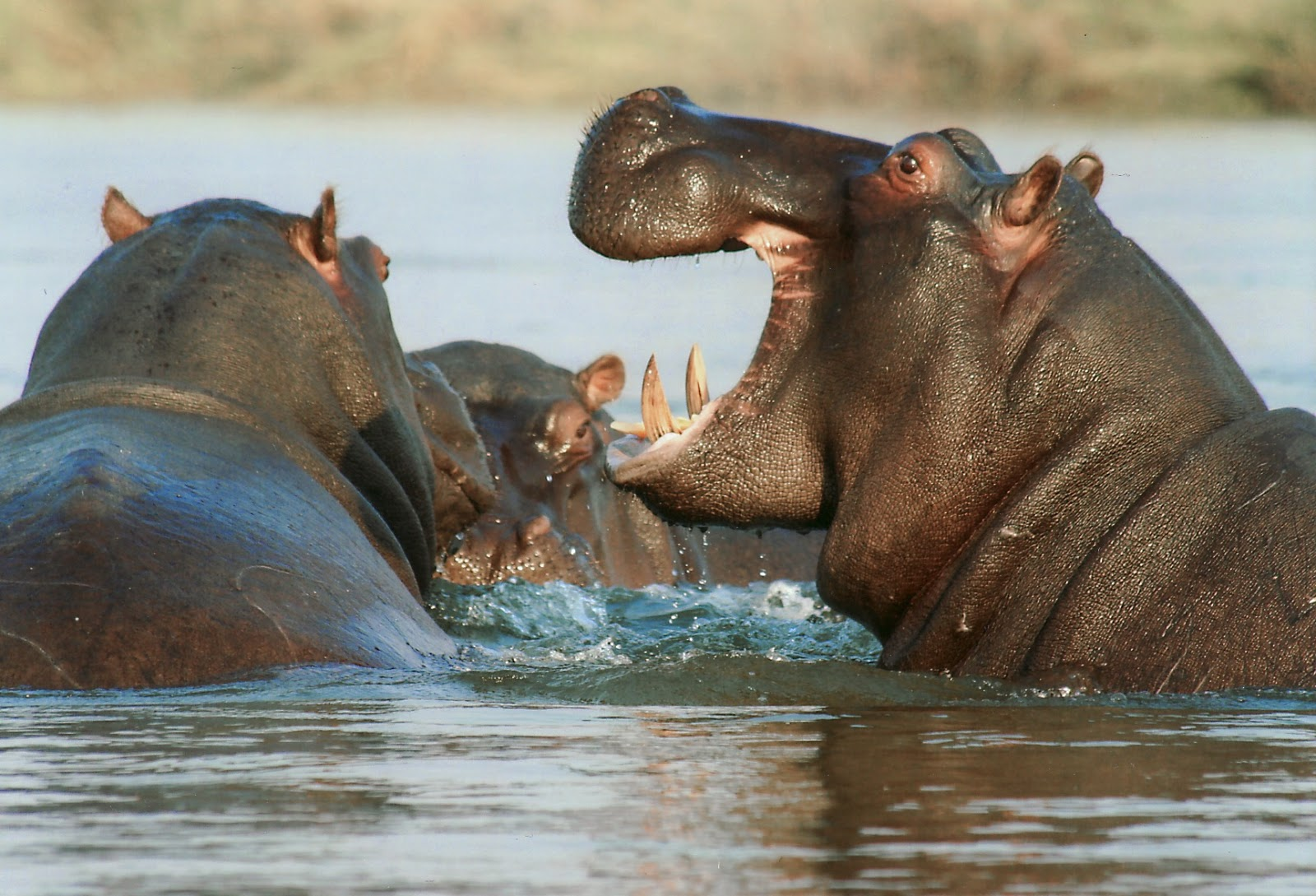 A picture of hippos in the water.