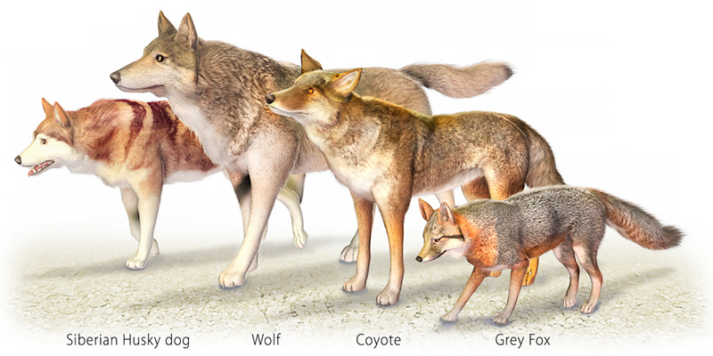 Difference Between Dog, Wolf, Jackal, Coyote and Fox - RaJa ...