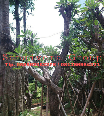 Kamboja Bali Fosil Batang Besar