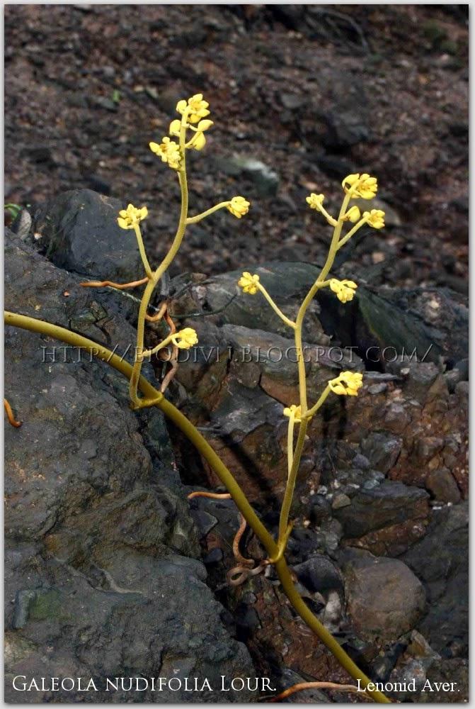 Galeola-nudifolia-1