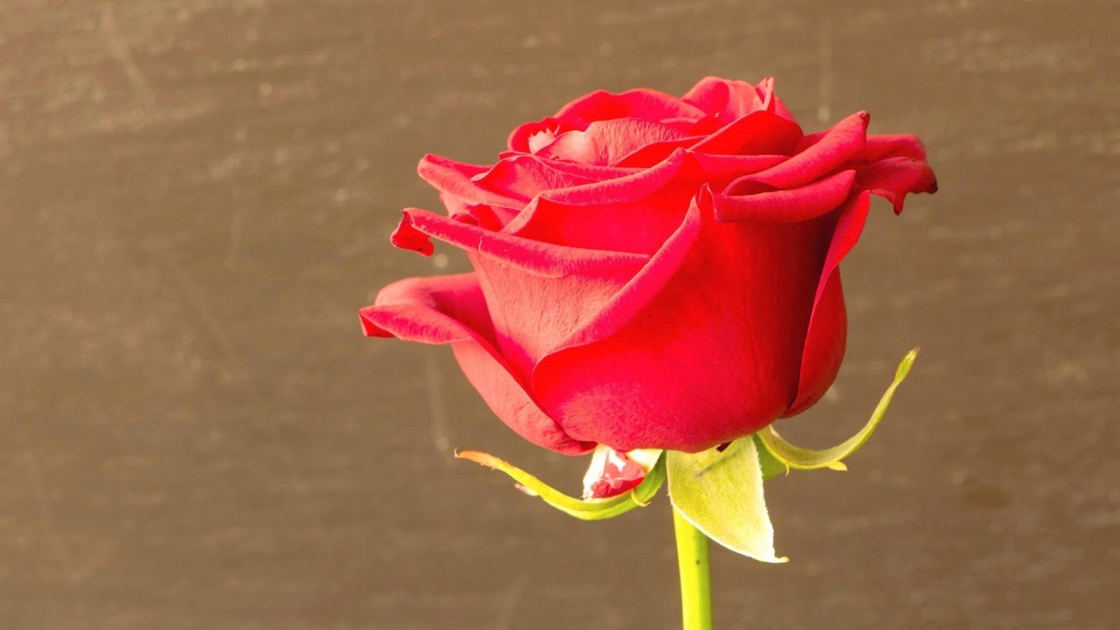 rose wallpapers best - photo #15