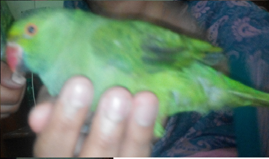 Ammar Imtiaz with  Parrot Braowo