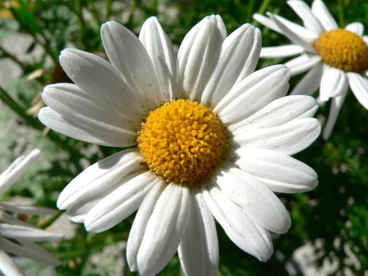 Neko random fact of the day daisy flower the flowers known as daisies are derived from an old english word meaning days eye izmirmasajfo