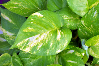 Picture of Golden Pothos Plant