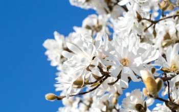 Wallpaper: White Flowers