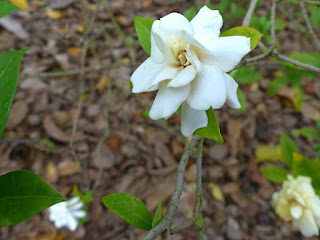 Gardénia - Jasmin du Cap - Gardenia jasminoides