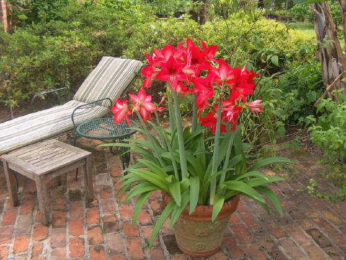 Kiat Menanam Bunga Amarilis Dalam Pot