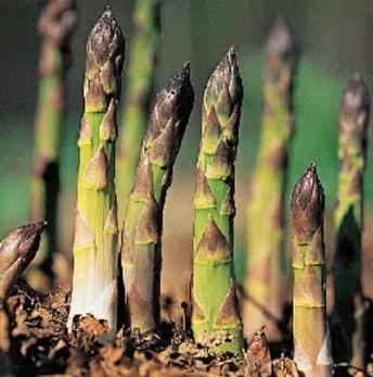 Perawatan Tanaman Asparagus