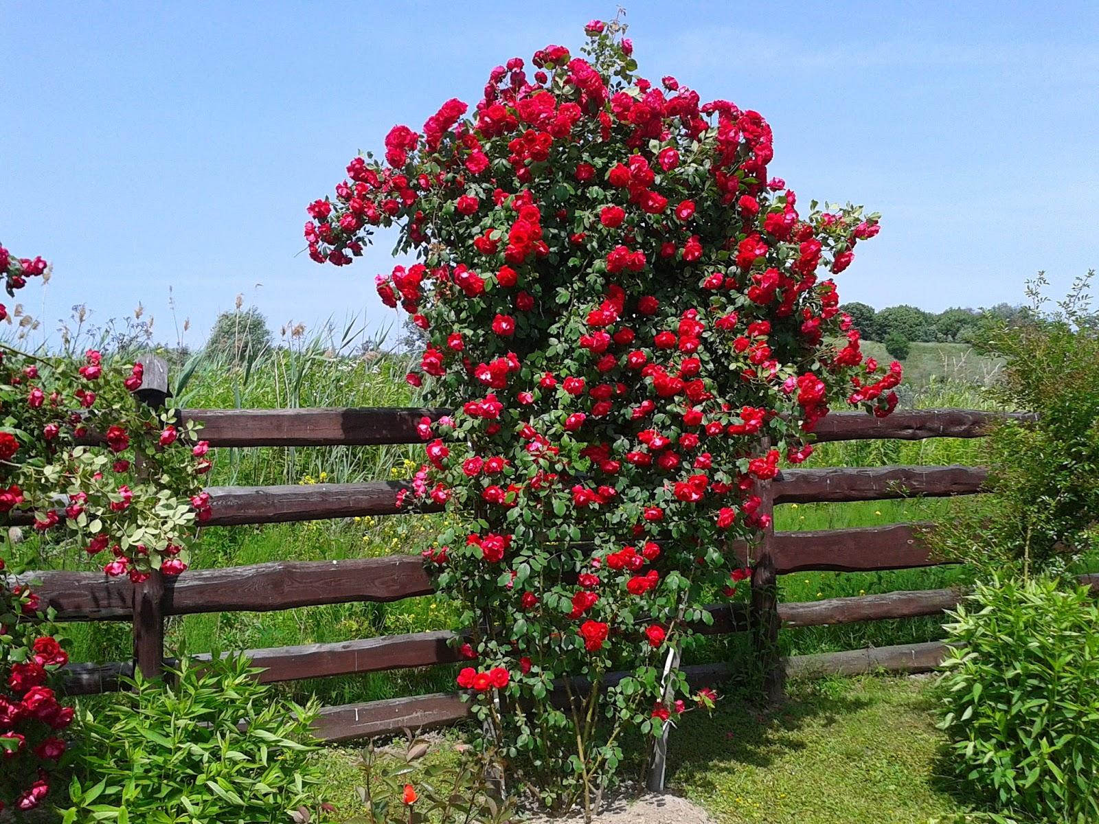 Роза симпатия плетистая фото
