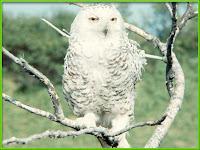 Owl Pictures Nocturnalis Strigiformes
