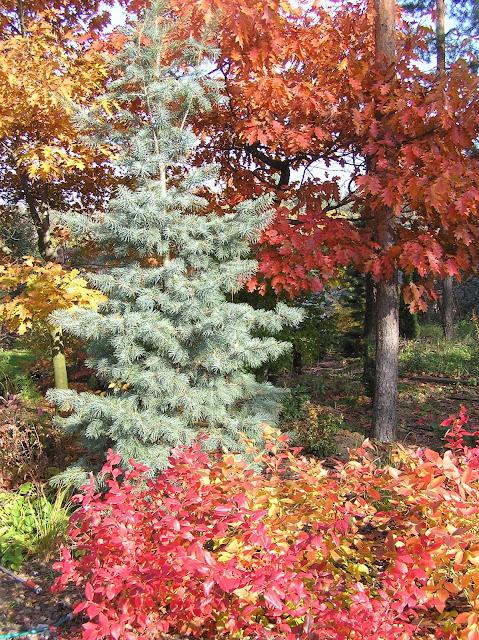 borówka amerykańska jesienią