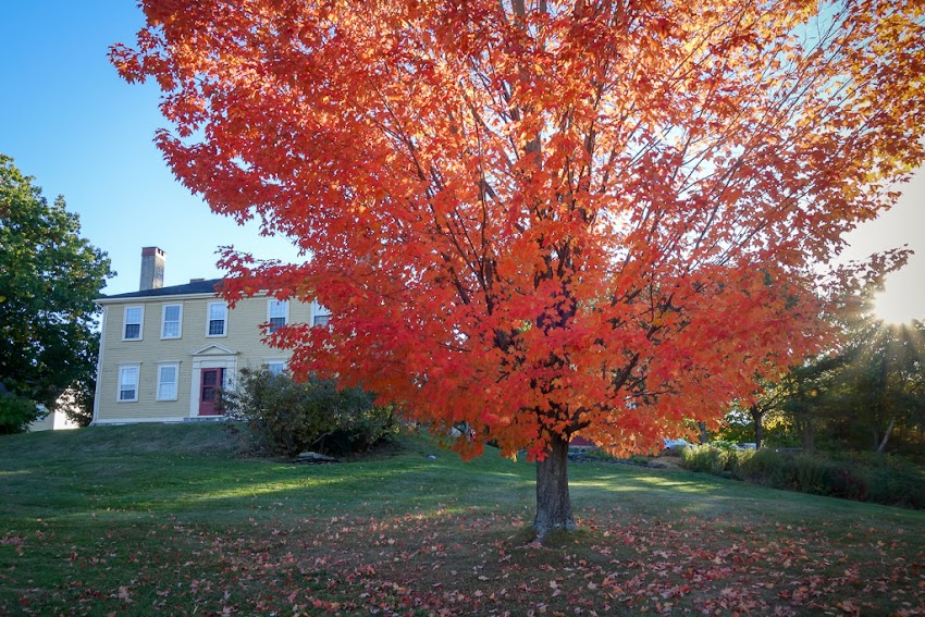 Portland, Maine USA October 2016 photo by Corey Templeton of a tree in Stroudwater Village with fall foliage on maple street.
