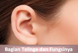 Fungsi Bagian-bagian telinga