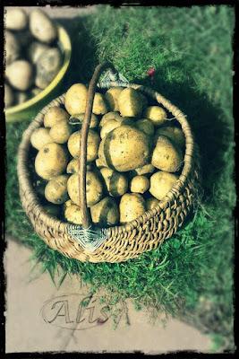 ziemniaki, kartofle, bulwy