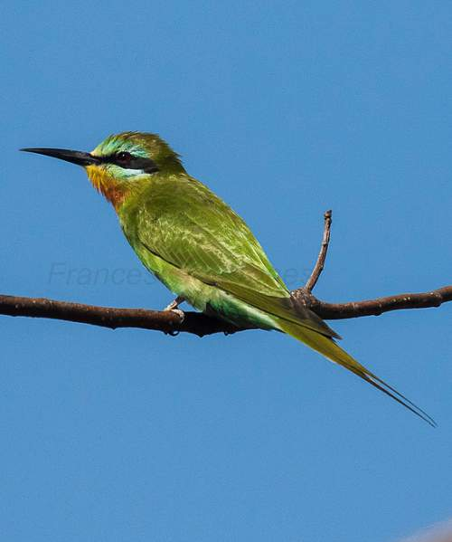Birds of India - Photo of Blue-cheeked bee-eater - Merops persicus