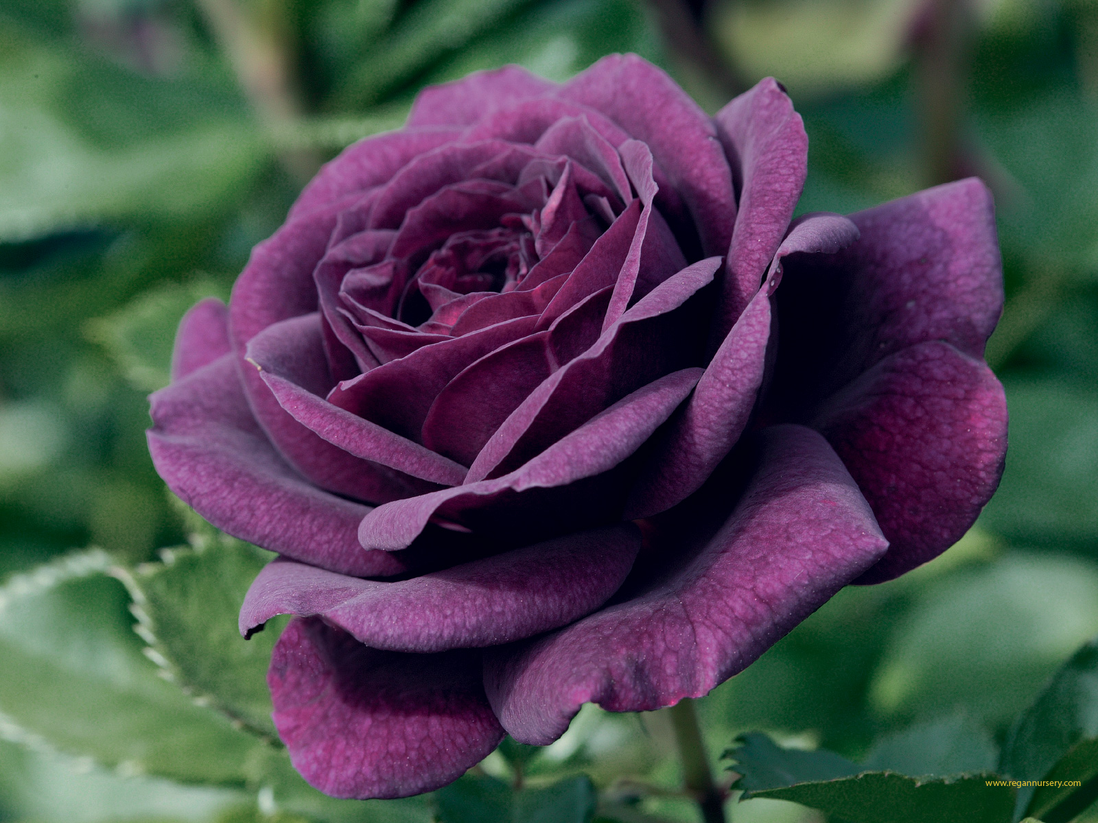 Purple Rose Flowers - Flower HD Wallpapers, Images, PIctures, Tattoos and Desktop Background