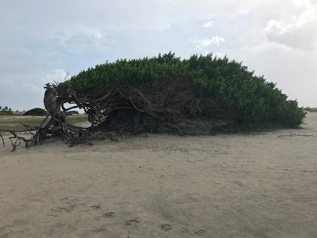 Árvore da Preguiça - Jericoacoara - Ceará, Jeri, A Riqueza de Viajar