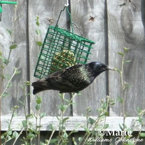 Starling bird on feeder eating no melt suet