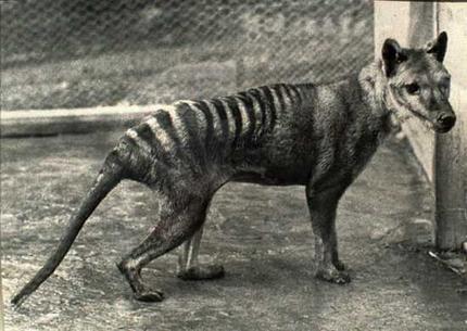 Does the tasmanian tiger still exist