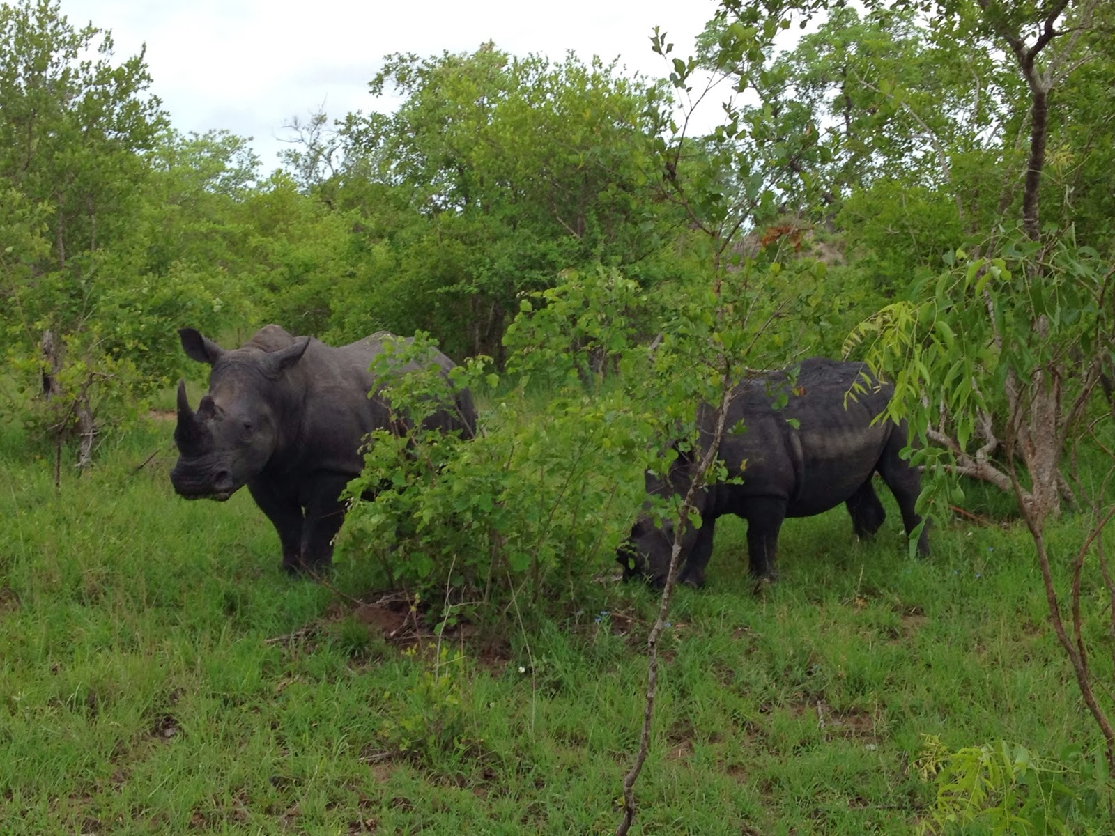 Sabi Sands - Other guests wanted to see white rhino and Liam found some