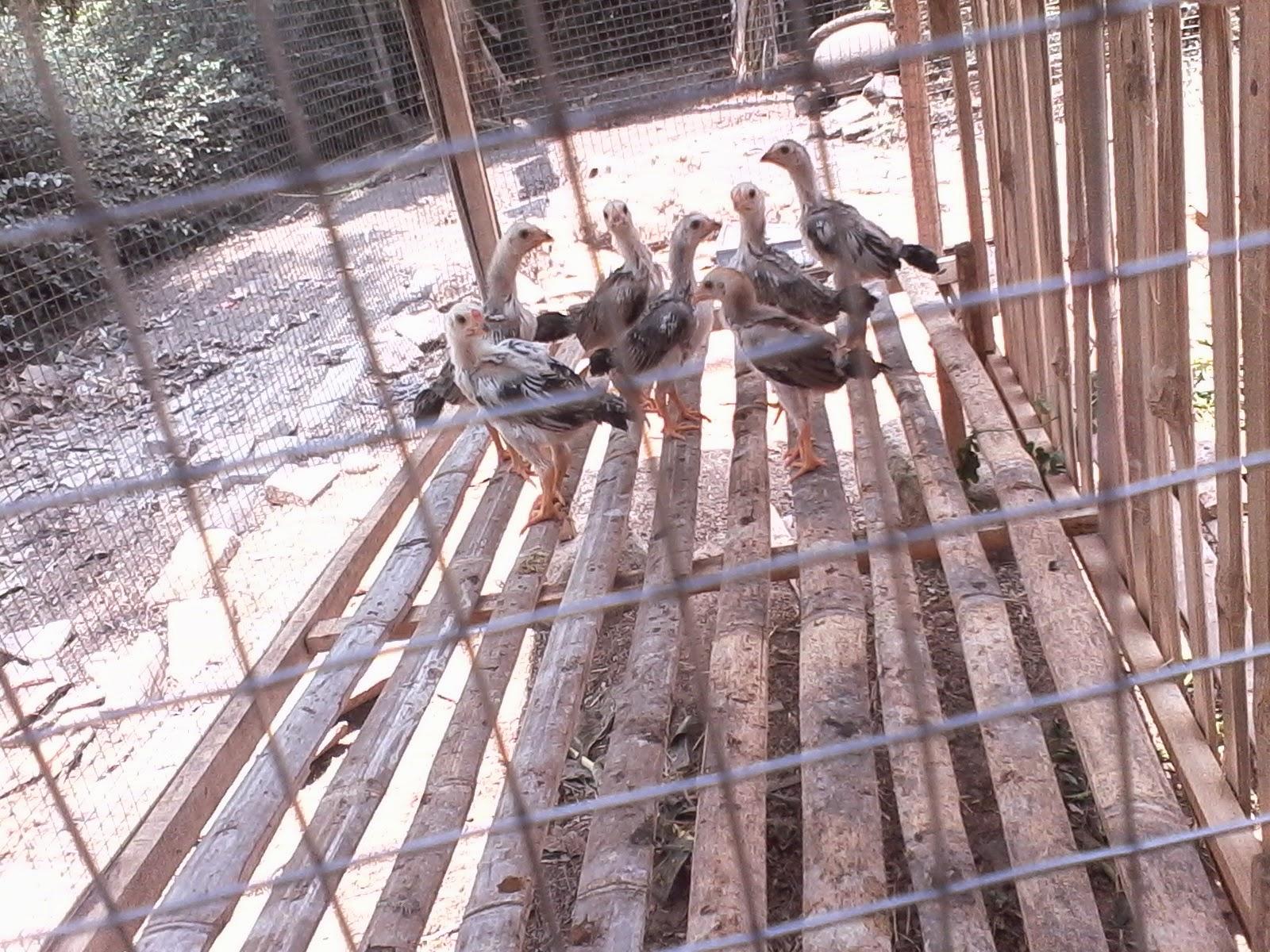 Gambar Kandang Ayam kampung Sederhana