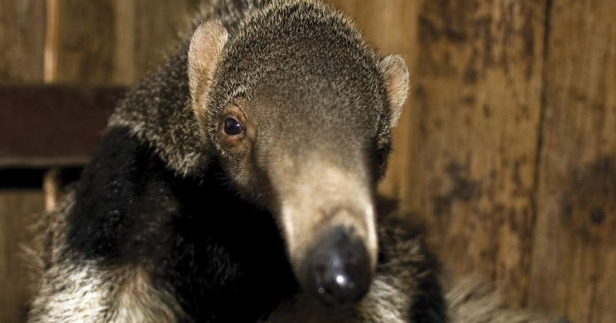 Big Curled Long Hair Giant Anteater   Facts...