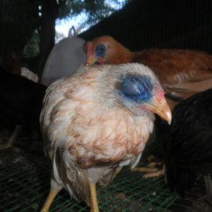 Penyakit Ayam Petelur Cara Mengobati Dan Pencegahan