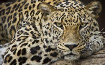 Wallpaper: Leopard Portrait