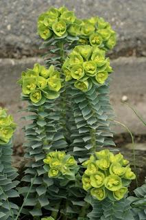 Euphorbe de Corse - Euphorbe myrsinites - Euphorbia corsica - Euphorbia myrsinites