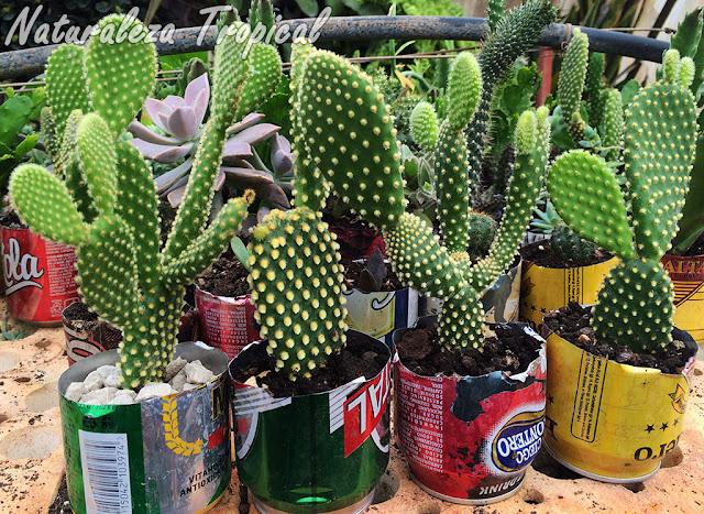 Multiplicación del Nopalillo o Alas de Ángel (Opuntia microdasys) en latas recicladas