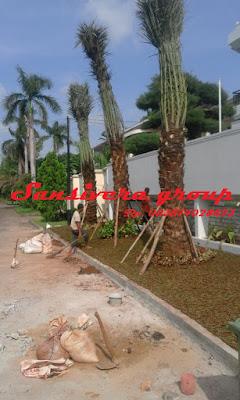 tanaman-korma-kurma