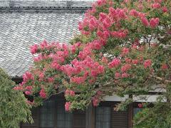 本興寺のサルスベリ