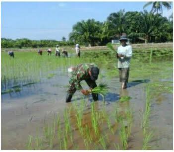 Anggota Babinsa ini Semangat Menanam Padi di Sawah Poktan Di Desa Pangkalan Lunang, Kualuh Leidong