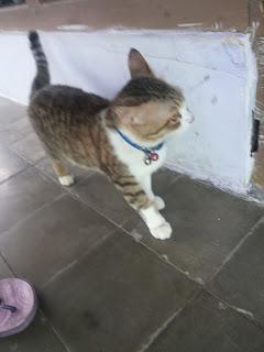 kucing gemuk minyak ikan