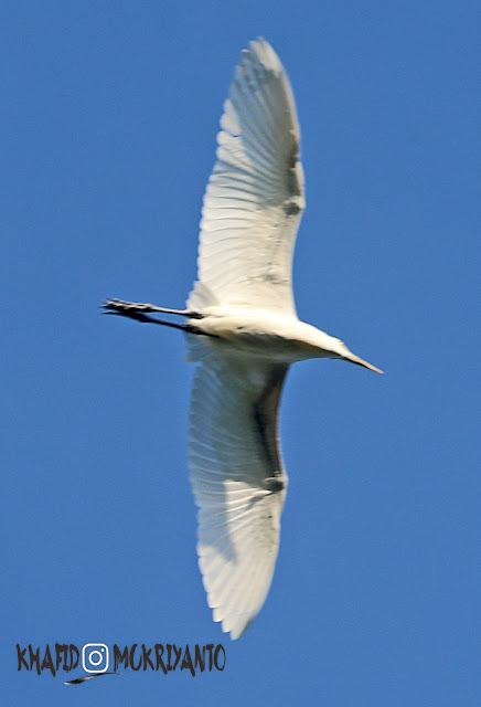 desa wisata ketingan tempat tinggalnya burung kuntul