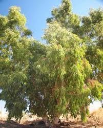 Llamativos eucaliptos