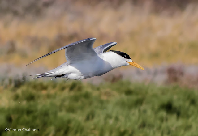 Swift tern in flight : Woodbridge Island, Cape Town Frame 1 / 5 Copyright Vernon Chalmers Photography