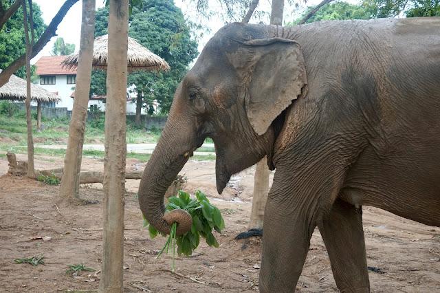 elephant at Sanui elephant Sanctuary