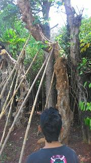 Jual pohon Kamboja fosil Batang besar harga murah terjangkau | Kamboja Bali | Kamboja ping | Kamboja putih salju | Kamboja merah kecap | jasa penanaman pohon Kamboja berpengalaman