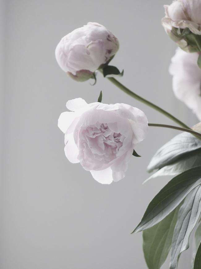 Pioni, kukkia, kesä, vaaleanpunainen pioni, vaaleanpunainen, kukka
