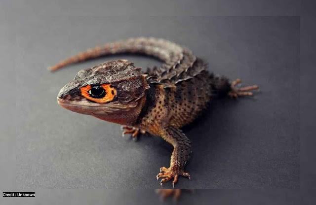 Foto Kadal Duri Mata Merah Papua (Red Eyed Crocodile Skink)