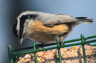 Red-breasted Nuthatch. Photo © Shelley Banks, all rights reserved.