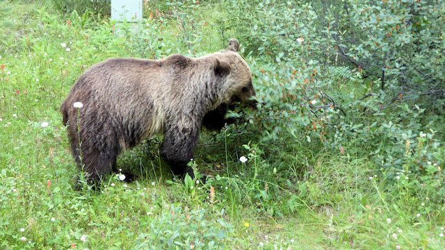 Grizzlybär in Kanada
