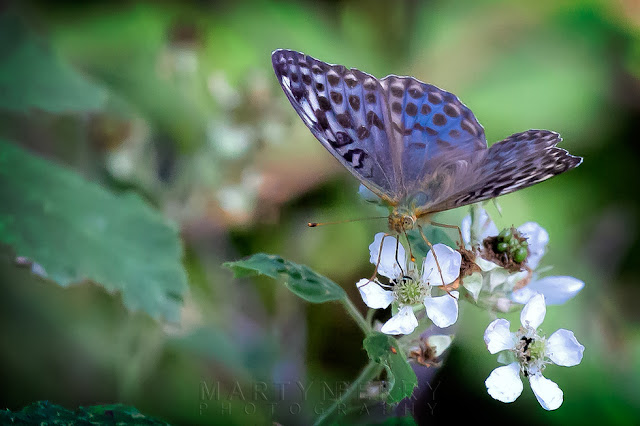 Macro image of a female Silver-washed fritillary valesina in the nature reserve of Holme Fen