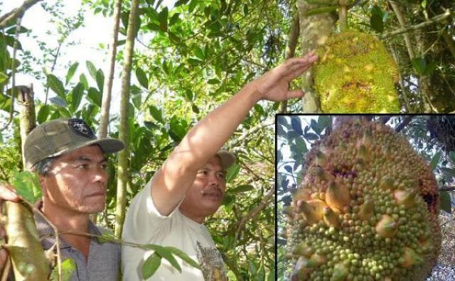 nangka berbuah pisang