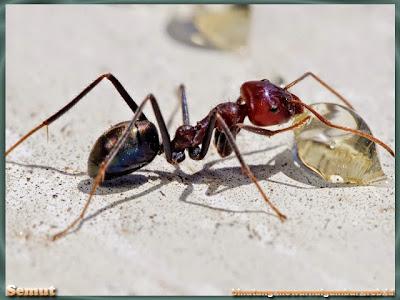 gambar semut membawa makanan